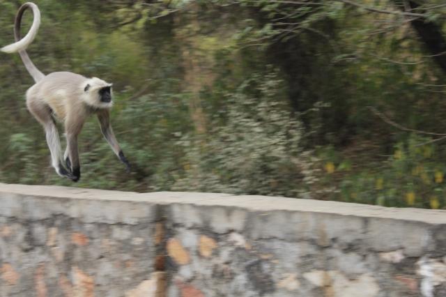 Run Langur Run!